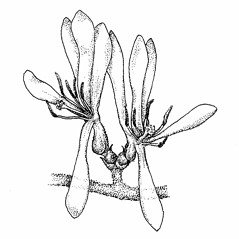 Flowers: Lonicera morrowii. ~ By Elizabeth Farnsworth. ~ Copyright © 2019 New England Wild Flower Society. ~ Image Request, images[at]newenglandwild.org