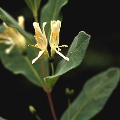 Flowers: Lonicera oblongifolia. ~ By Larry Mellichamp. ~ Copyright © 2021 Larry Mellichamp. ~ No permission needed for non-commercial uses, with proper credit ~ U. of Michigan Herbarium - herbarium.lsa.umich.edu/