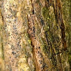 Bark: Lonicera periclymenum. ~ By James Lindsey. ~ Copyright © 2019 James Lindsey. ~ No permission required for non-commercial uses ~ Ecology of Commanster - www.commanster.eu/commanster.html