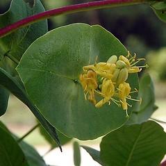 Flowers: Lonicera reticulata. ~ By Paul S. Drobot. ~ Copyright © 2020 Paul S. Drobot. ~ www.plantstogrow.com, www.plantstockphotos.com ~ Robert W. Freckmann Herbarium, U. of Wisconsin-Stevens Point