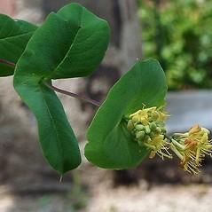 Leaves: Lonicera reticulata. ~ By Paul S. Drobot. ~ Copyright © 2020 Paul S. Drobot. ~ www.plantstogrow.com, www.plantstockphotos.com ~ Robert W. Freckmann Herbarium, U. of Wisconsin-Stevens Point
