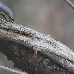 Bark: Lonicera sempervirens. ~ By Bryan Hamlin. ~ Copyright © 2020 Bryan Hamlin. ~ bryanthamlin[at]gmail.com