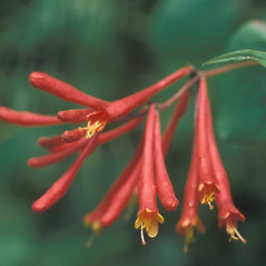 Flowers: Lonicera sempervirens. ~ By Dorothy Long. ~ Copyright © 2021 New England Wild Flower Society. ~ Image Request, images[at]newenglandwild.org