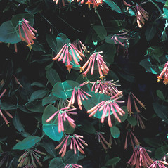 Plant form: Lonicera sempervirens. ~ By John Lynch. ~ Copyright © 2021 New England Wild Flower Society. ~ Image Request, images[at]newenglandwild.org