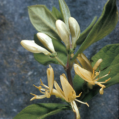 Flowers: Lonicera tatarica. ~ By Adelaide Pratt. ~ Copyright © 2021 New England Wild Flower Society. ~ Image Request, images[at]newenglandwild.org