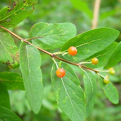 Fruits: Lonicera tatarica. ~ By Arthur Haines. ~ Copyright © 2021. ~ arthurhaines[at]wildblue.net