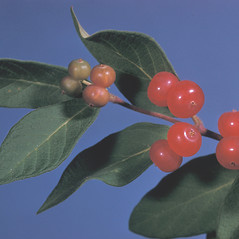 Fruits: Lonicera tatarica. ~ By Adelaide Pratt. ~ Copyright © 2021 New England Wild Flower Society. ~ Image Request, images[at]newenglandwild.org
