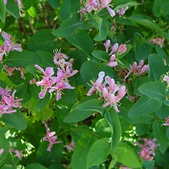 Plant form: Lonicera tatarica. ~ By Arthur Haines. ~ Copyright © 2021. ~ arthurhaines[at]wildblue.net
