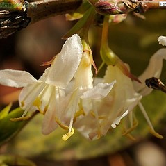 Flowers: Lonicera xylosteum. ~ By John Crellin. ~ Copyright © 2020 © J.R. Crellin. ~ Floralimages www.floralimages.co.uk ~ Floral Images - www.floralimages.co.uk