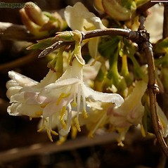 Winter buds: Lonicera xylosteum. ~ By John Crellin. ~ Copyright © 2021 © J.R. Crellin. ~ Floralimages www.floralimages.co.uk ~ Floral Images - www.floralimages.co.uk