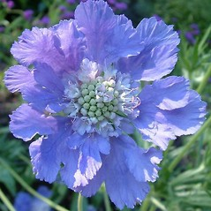 Flowers: Scabiosa columbaria. ~ By Louis-M. Landry. ~ Copyright © 2020 Louis-M. Landry. ~ LM.Landry[at]videotron.ca  ~ CalPhotos - calphotos.berkeley.edu/flora/