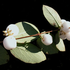 Fruits: Symphoricarpos albus. ~ By Marilee Lovit. ~ Copyright © 2021 Marilee Lovit. ~ lovitm[at]gmail.com