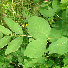 Leaves: Symphoricarpos albus. ~ By Glen Mittelhauser. ~ Copyright © 2021 Glen Mittelhauser. ~ www.mainenaturalhistory.org