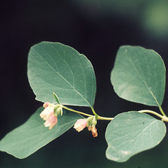 Leaves: Symphoricarpos albus. ~ By Lawrence Newcomb. ~ Copyright © 2021 New England Wild Flower Society. ~ Image Request, images[at]newenglandwild.org
