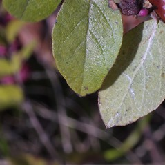 Leaves: Symphoricarpos orbiculatus. ~ By Steven Baskauf. ~ Copyright © 2020 CC-BY-NC-SA. ~  ~ Bioimages - www.cas.vanderbilt.edu/bioimages/frame.htm