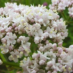Flowers: Valeriana officinalis. ~ By Glen Mittelhauser. ~ Copyright © 2020 Glen Mittelhauser. ~ www.mainenaturalhistory.org