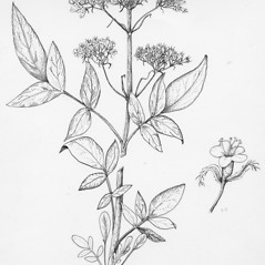 Plant form: Valeriana uliginosa. ~ By Tess Feltes. ~  Public Domain. ~  ~ U. of New Hampshire