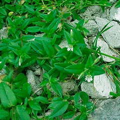 Leaves: Cerastium fontanum. ~ By Glen Mittelhauser. ~ Copyright © 2020 Glen Mittelhauser. ~ www.mainenaturalhistory.org