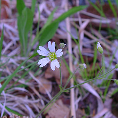 Flowers: Cerastium strictum. ~ By Arthur Haines. ~ Copyright © 2021. ~ arthurhaines[at]wildblue.net