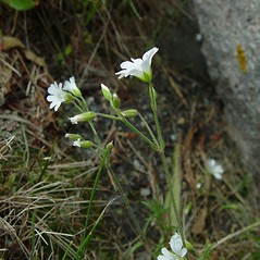 Flowers: Cerastium strictum. ~ By Arthur Haines. ~ Copyright © 2020. ~ arthurhaines[at]wildblue.net