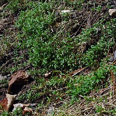 Plant form: Cerastium strictum. ~ By Arthur Haines. ~ Copyright © 2021. ~ arthurhaines[at]wildblue.net
