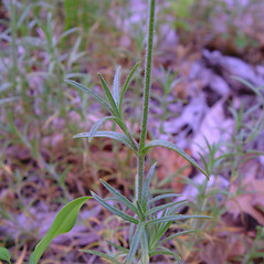 Leaves: Cerastium strictum. ~ By Arthur Haines. ~ Copyright © 2021. ~ arthurhaines[at]wildblue.net