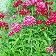 Plant form: Dianthus barbatus. ~ By Charles Brun. ~ Copyright © 2021. ~ brunc[at]wsu.edu ~ Pacific Northwest Plants - www.pnwplants.wsu.edu/
