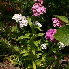 Plant form: Dianthus barbatus. ~ By Steve Garske. ~ Copyright © 2021 Steve Garske. ~ asimina[at]alphacomm.net