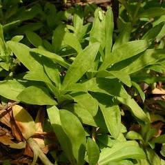 Leaves: Dianthus barbatus. ~ By Steve Garske. ~ Copyright © 2021 Steve Garske. ~ asimina[at]alphacomm.net