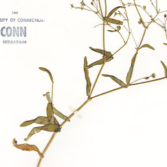 Leaves: Gypsophila elegans. ~ By CONN Herbarium. ~ Copyright © 2021 CONN Herbarium. ~ Requests for image use not currently accepted by copyright holder ~ U. of Connecticut Herbarium - bgbaseserver.eeb.uconn.edu/