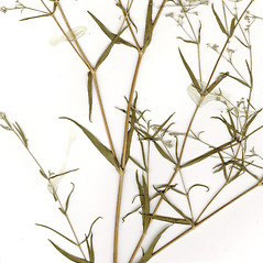 Leaves: Gypsophila paniculata. ~ By CONN Herbarium. ~ Copyright © 2020 CONN Herbarium. ~ Requests for image use not currently accepted by copyright holder ~ U. of Connecticut Herbarium - bgbaseserver.eeb.uconn.edu/