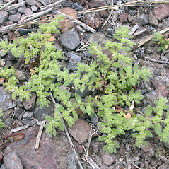 Plant form: Herniaria hirsuta. ~ By Keir Morse. ~ Copyright © 2021 Keir Morse. ~ www.keiriosity.com ~ www.keiriosity.com