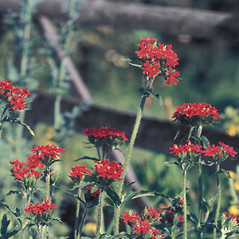 Flowers: Lychnis chalcedonica. ~ By Lucien Taylor. ~ Copyright © 2020 New England Wild Flower Society. ~ Image Request, images[at]newenglandwild.org