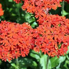 Flowers: Lychnis chalcedonica. ~ By Charles Brun. ~ Copyright © 2020. ~ brunc[at]wsu.edu ~ Pacific Northwest Plants - www.pnwplants.wsu.edu/