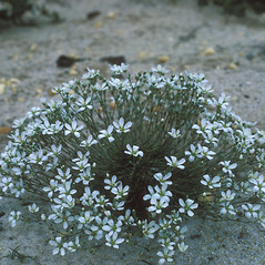 Plant form: Minuartia caroliniana. ~ By Frank Bramley. ~ Copyright © 2021 New England Wild Flower Society. ~ Image Request, images[at]newenglandwild.org