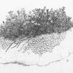 Plant form: Minuartia marcescens. ~ By Tess Feltes. ~  Public Domain. ~  ~ U. of New Hampshire