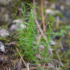 Leaves: Minuartia michauxii. ~ By Arthur Haines. ~ Copyright © 2020. ~ arthurhaines[at]wildblue.net