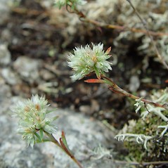 Flowers: Paronychia argyrocoma. ~ By Arthur Haines. ~ Copyright © 2020. ~ arthurhaines[at]wildblue.net
