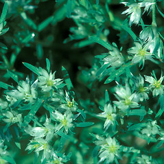 Flowers: Paronychia argyrocoma. ~ By William Larkin. ~ Copyright © 2021 New England Wild Flower Society. ~ Image Request, images[at]newenglandwild.org