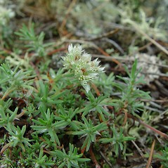 Plant form: Paronychia argyrocoma. ~ By Arthur Haines. ~ Copyright © 2020. ~ arthurhaines[at]wildblue.net