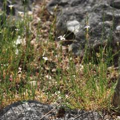 Plant form: Petrorhagia saxifraga. ~  ~ Copyright © 2021. ~