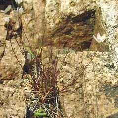Plant form: Sagina nodosa. ~ By Glen Mittelhauser. ~ Copyright © 2019 Glen Mittelhauser. ~ www.mainenaturalhistory.org
