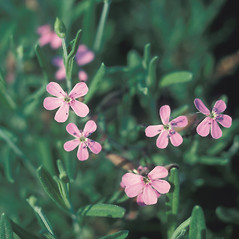 Flowers: Saponaria ocymoides. ~ By John Lynch. ~ Copyright © 2020 New England Wild Flower Society. ~ Image Request, images[at]newenglandwild.org