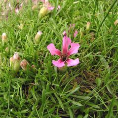 Leaves: Saponaria pumilio. ~ By Hudik Libor . ~ Copyright © 2020 Hudik Libor . ~ Hudik.Libor[at]seznam.cz ~ Biolib - www.biolib.cz