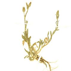 Plant form: Silene conica. ~ By Botanic Garden and Botanical Museum Berlin-Dahlem. ~ Copyright © 2020 CC BY-SA. ~  ~ Botanic Garden and Botanical Museum Berlin-Dahlem - ww2.bgbm.org/Herbarium/default.cfm