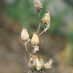 Fruits: Silene csereii. ~ By Keir Morse. ~ Copyright © 2020 Keir Morse. ~ www.keiriosity.com ~ www.keiriosity.com
