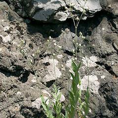Plant form: Silene csereii. ~ By Keir Morse. ~ Copyright © 2020 Keir Morse. ~ www.keiriosity.com ~ www.keiriosity.com