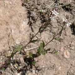 Plant form: Silene gallica. ~ By Keir Morse. ~ Copyright © 2021 Keir Morse. ~ www.keiriosity.com ~ www.keiriosity.com
