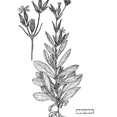 Plant form: Silene noctiflora. ~ By Regina O. Hughes. ~  Public Domain. ~  ~ Reed, C.F. 1970. Selected weeds of the United States. USDA Agric. Res. Ser. Agric. Handbook 336