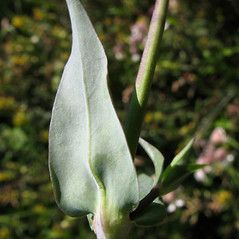 Leaves: Silene vulgaris. ~ By Marilee Lovit. ~ Copyright © 2021 Marilee Lovit. ~ lovitm[at]gmail.com